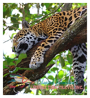 Leisure Time Travel : Belize Jaguar