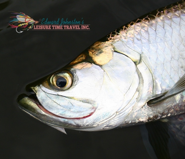 A fine Campeche tarpon, up close.