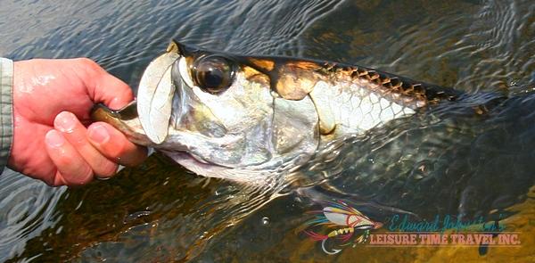 Tarpon Cay Lodge Yucatan : Tarpon fishing northern Mexico's Yucatan peninsula, Tarpon Angling