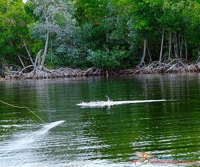 Campeche Tarpon striking the fly, Yucatan Baby Tarpon Fly Fishing